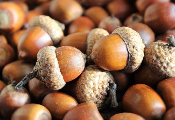 acorn-1013486_640
